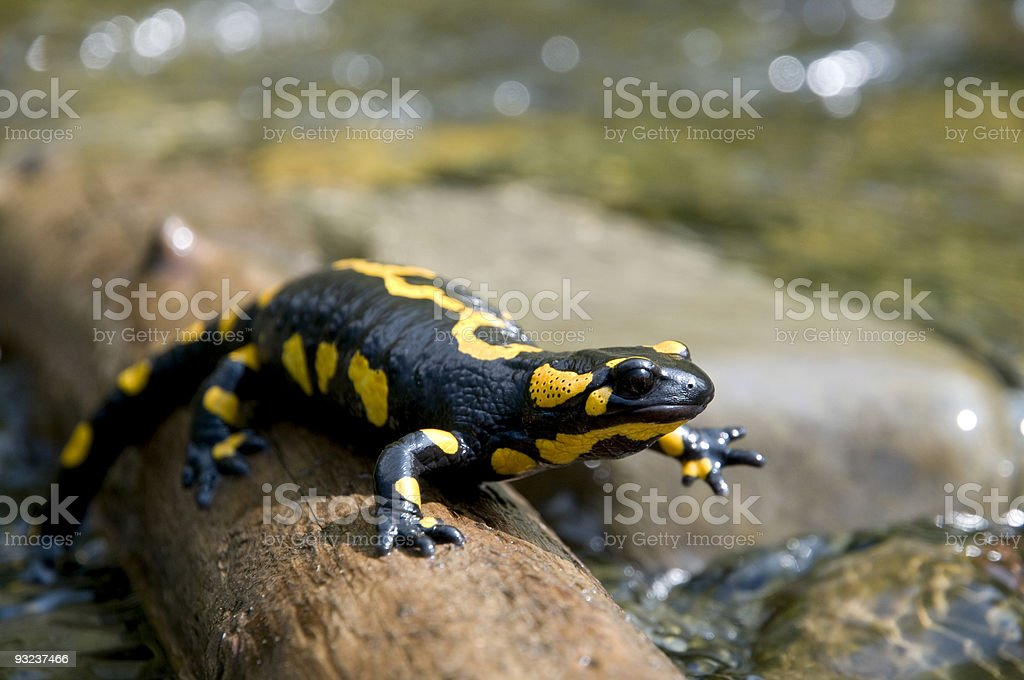 A black and yellow salamander resting on wood stock photo
