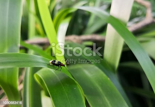 Beautiful insect beetle with black body and red head. Yellow horizontal stripes, resembling a ladybug or cucumber beetle. Green leaf background.