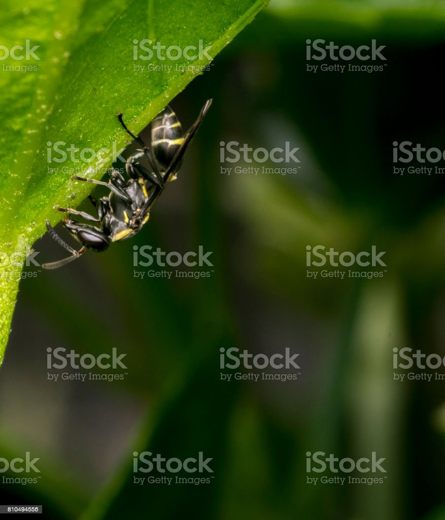Black and yellow wasp wandering on a tree leaf stock photo
