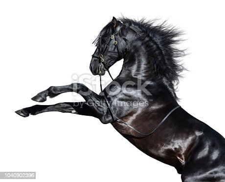 Black Andalusian horse rearing on white background.