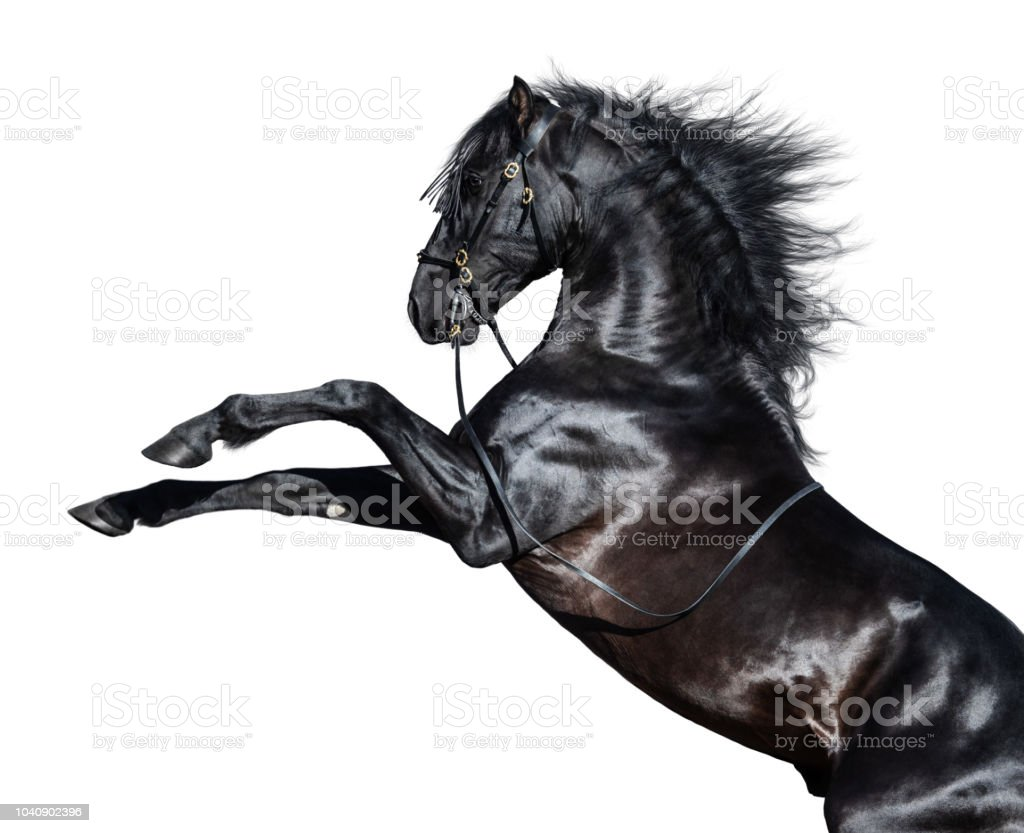 Black Andalusian horse rearing. Isolated on white background. stock photo