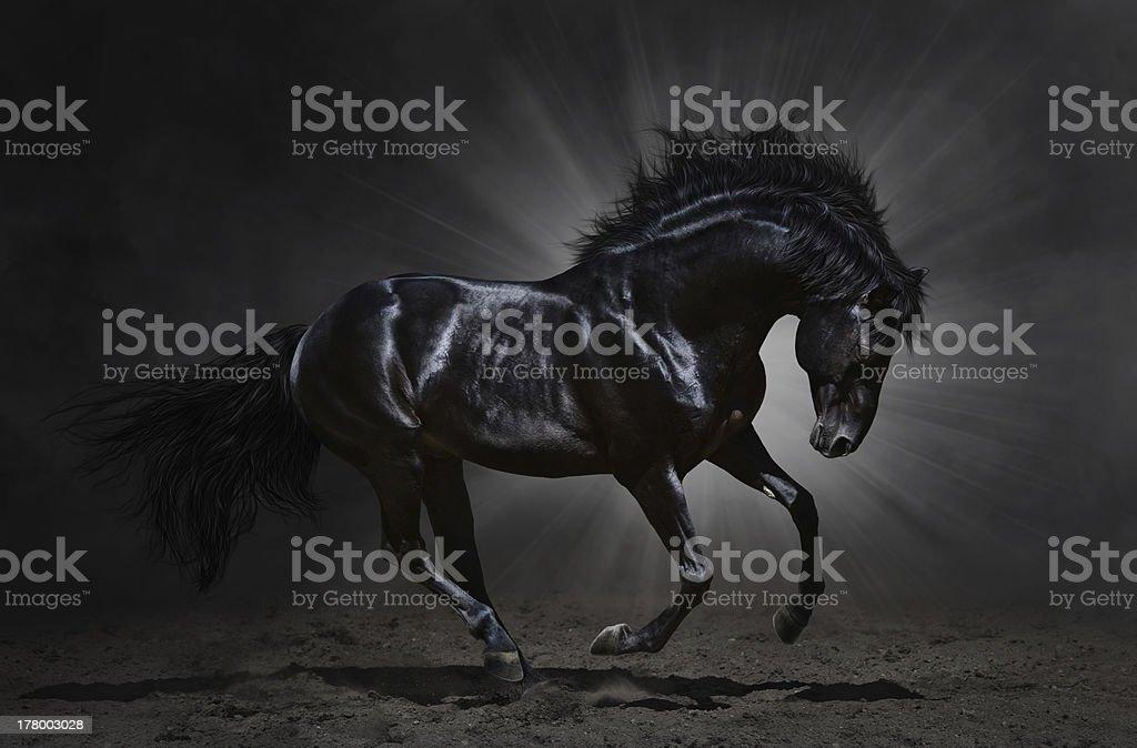 Black Andalusian stallion gallops stock photo