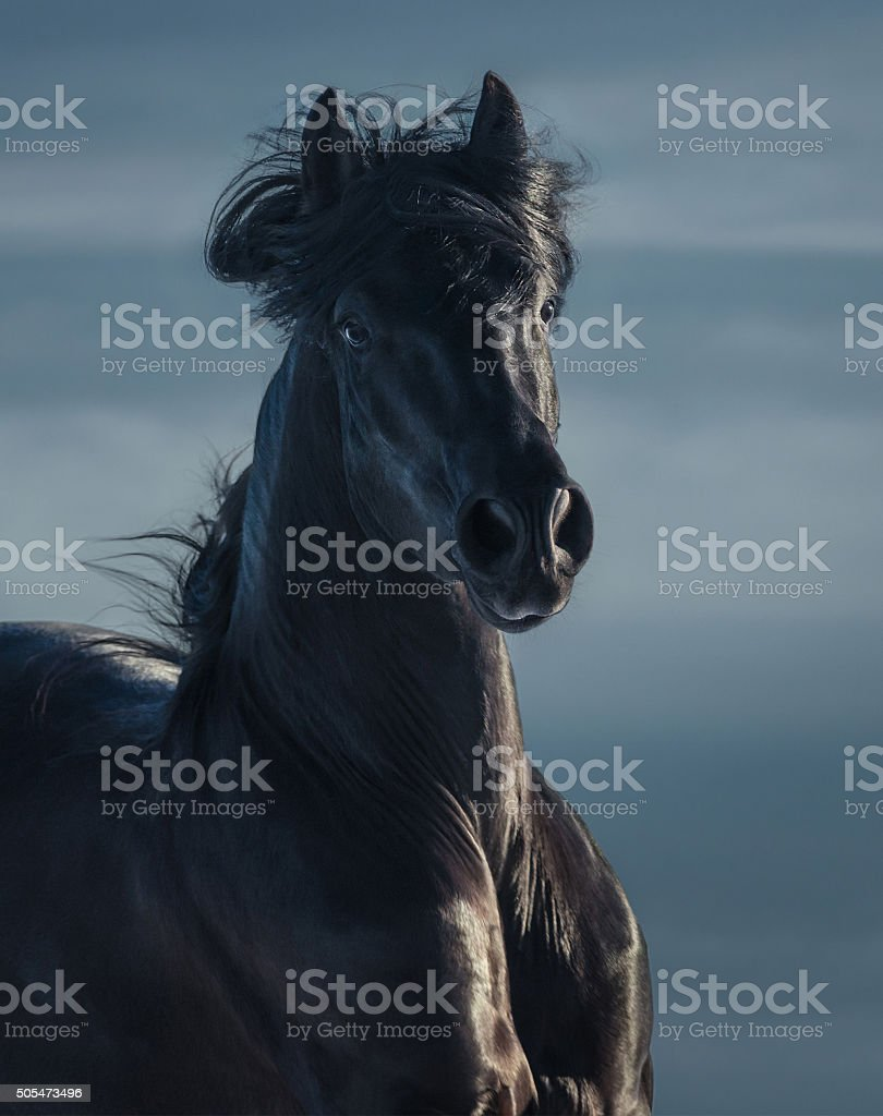 Black Andalusian stallion - portrait in motion stock photo