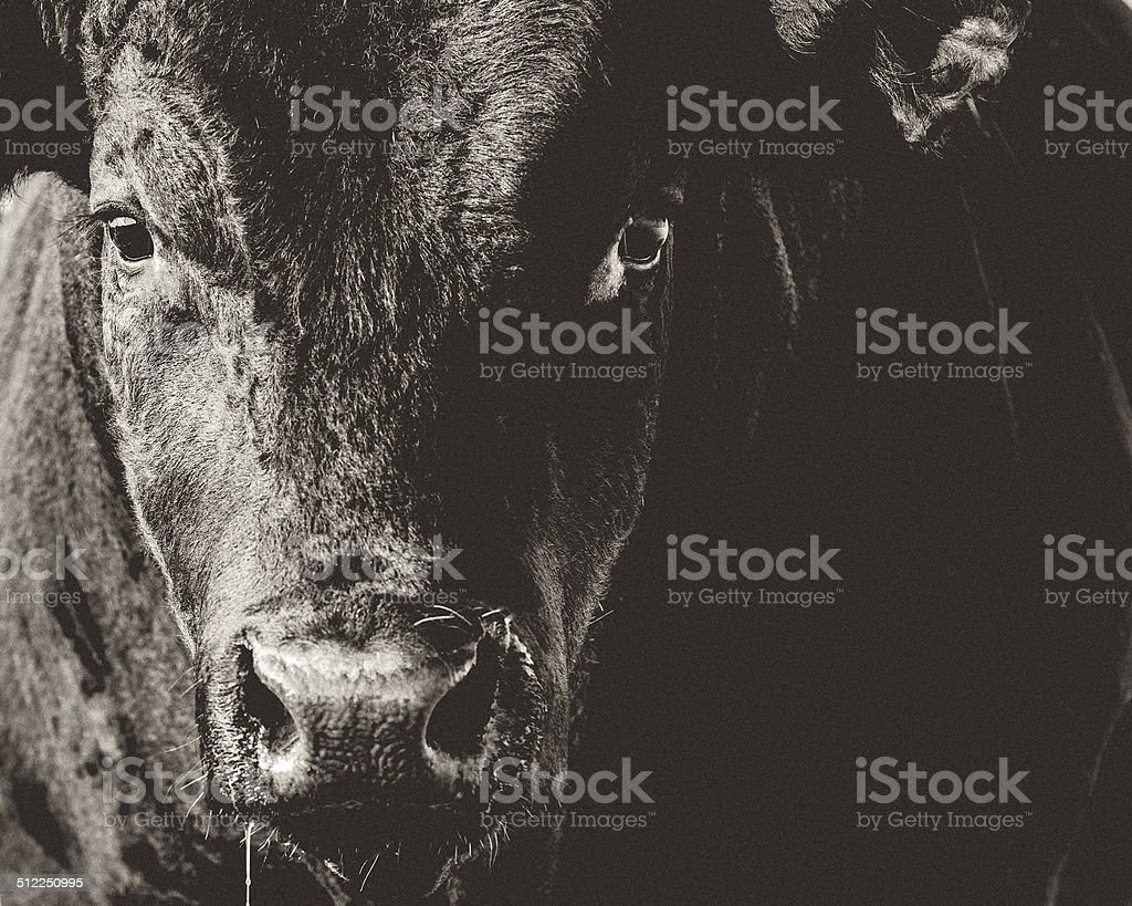 Black Angus Bull Head & Face Closeup Black & White stock photo
