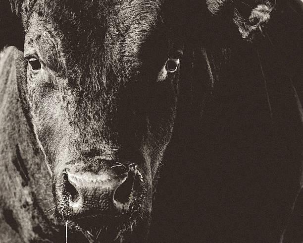 Black Angus Bull Head & Face Closeup Black & White stock photo