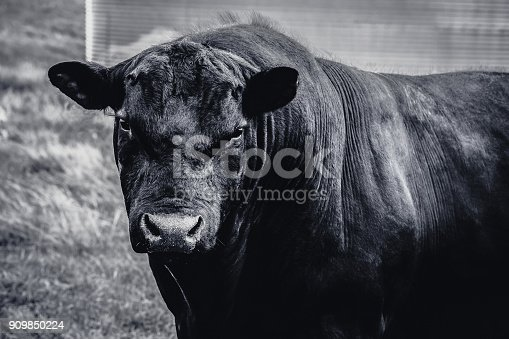 istock Black Angus Bull in black and white closeup 909850224