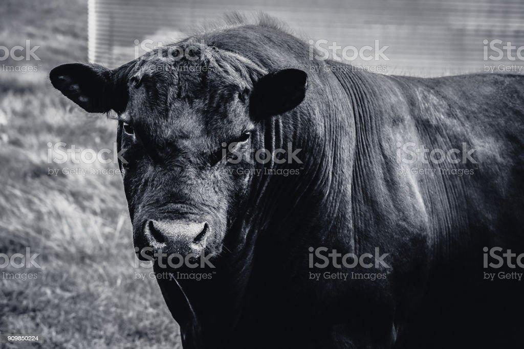 Black Angus Bull in black and white closeup stock photo