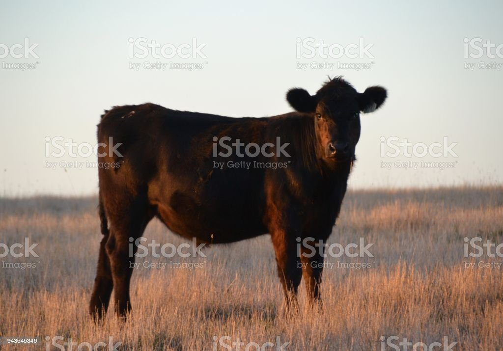 Black Angus bull in meadow paddock at sunset stock photo