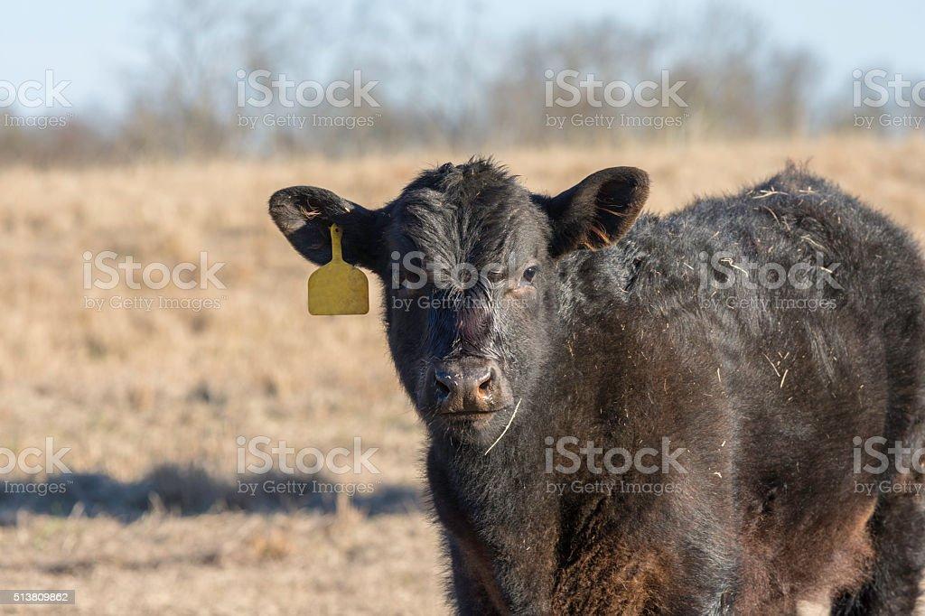 Black Angus calf in dormant Bermuda grass field stock photo