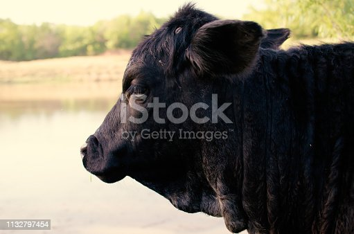 Side view profile of black angus heifer cow in rural pasture.