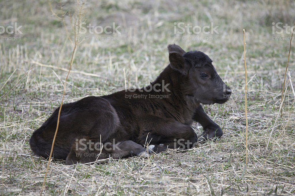 Black Angus calf resting in a field. stock photo