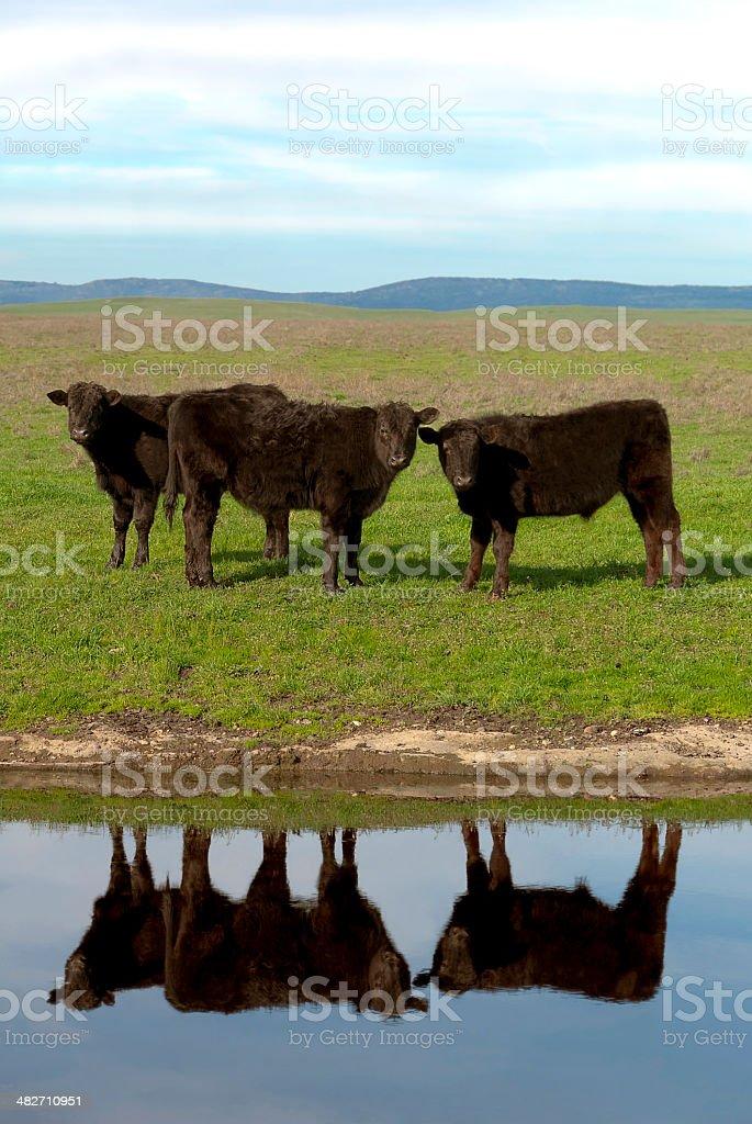 Black Angus Cattle stock photo