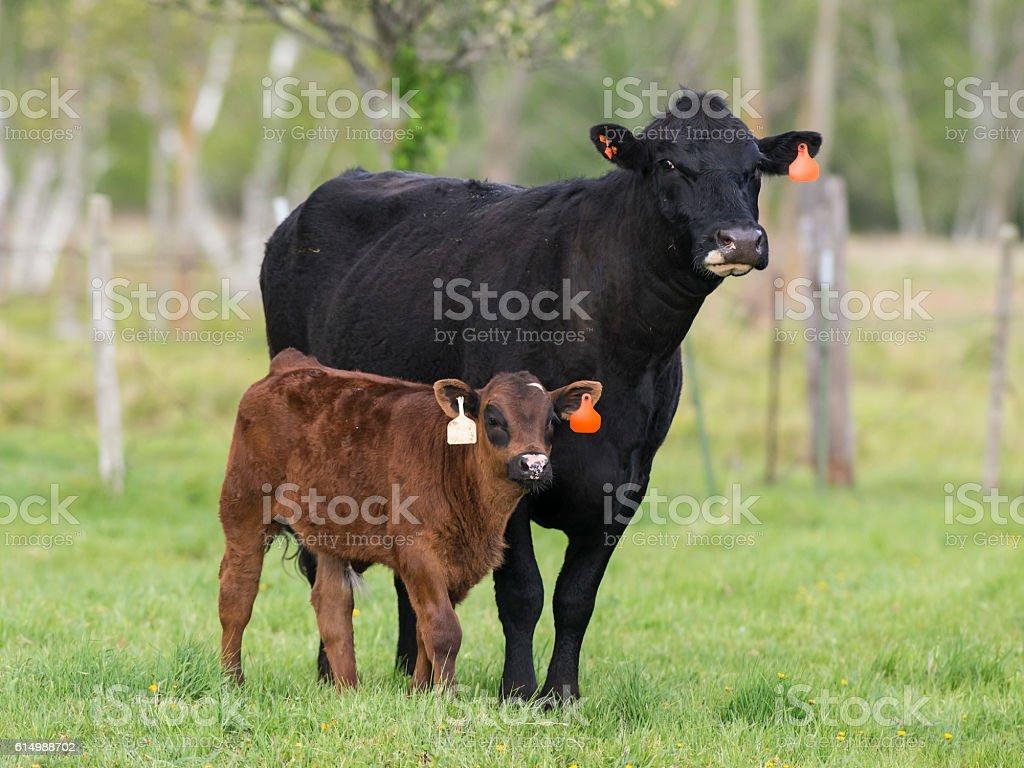Black Angus Cow and Calf stock photo