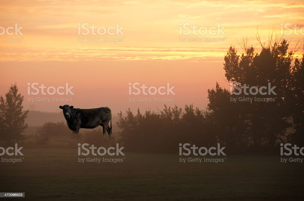 Black Angus Cow at Sunrise in Misty Field stock photo