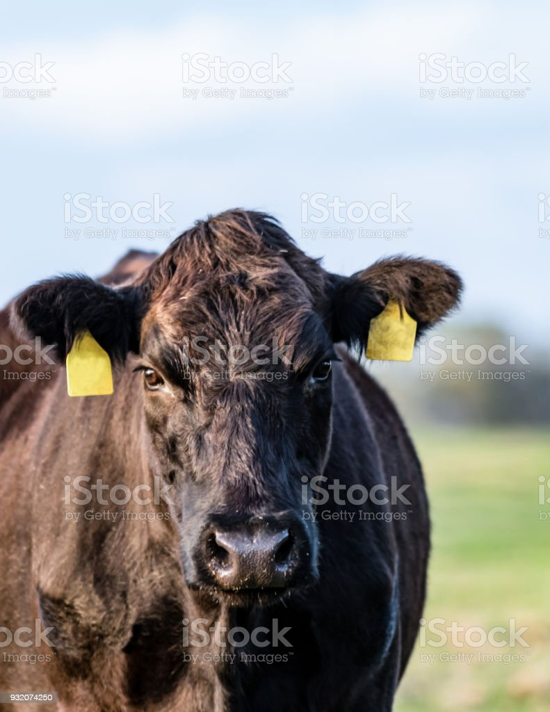 Black Angus cow close up - vertical stock photo