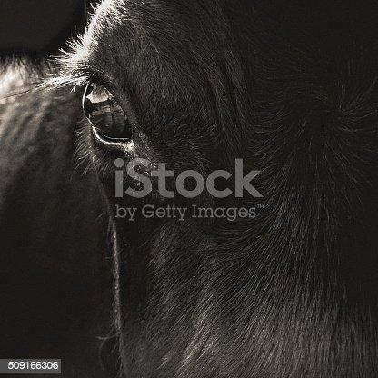 istock Black Angus Cow Face Closeup 509166306