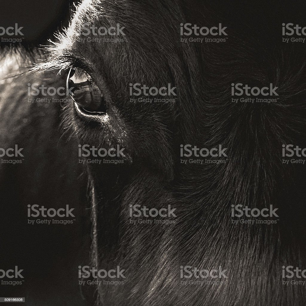 Black Angus Cow Face Closeup stock photo