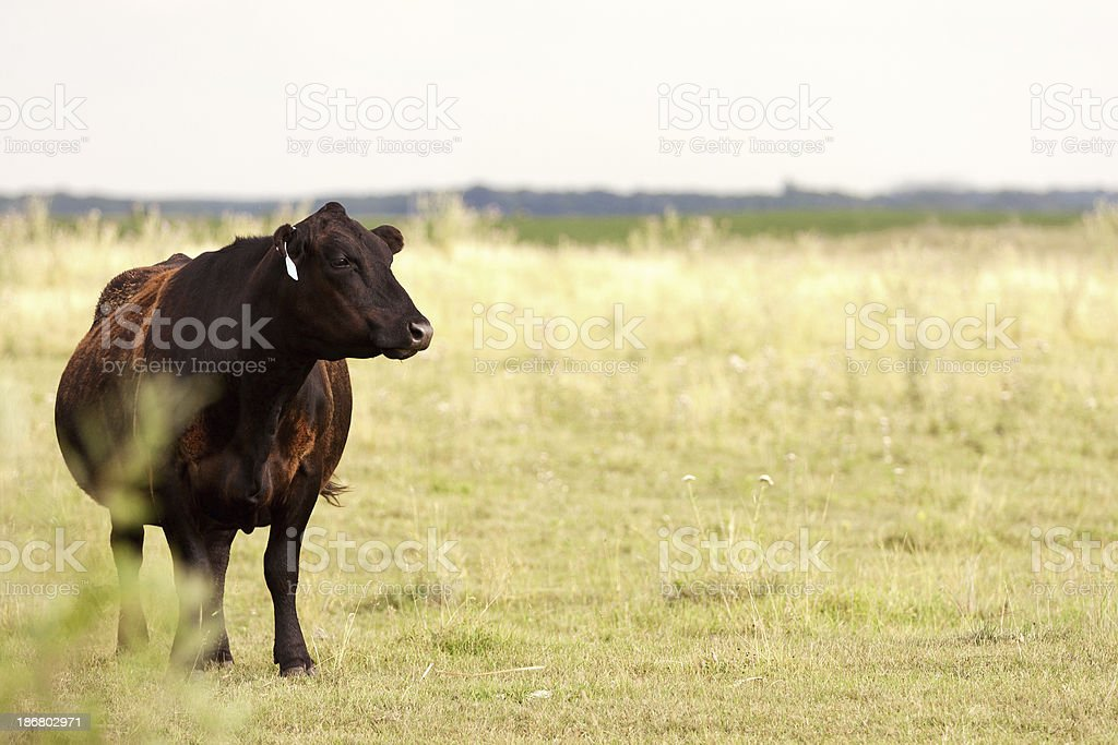 Black Angus Cow stock photo