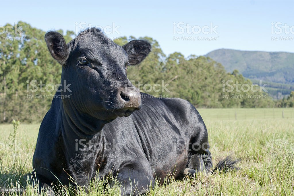 A black angus cow resting on grass looking into the distance stock photo