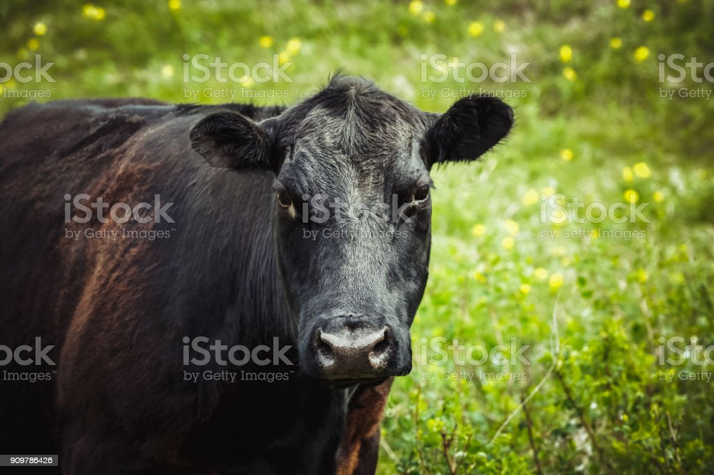 Black Angus cow with a pretty face - close up and looking to camera stock photo