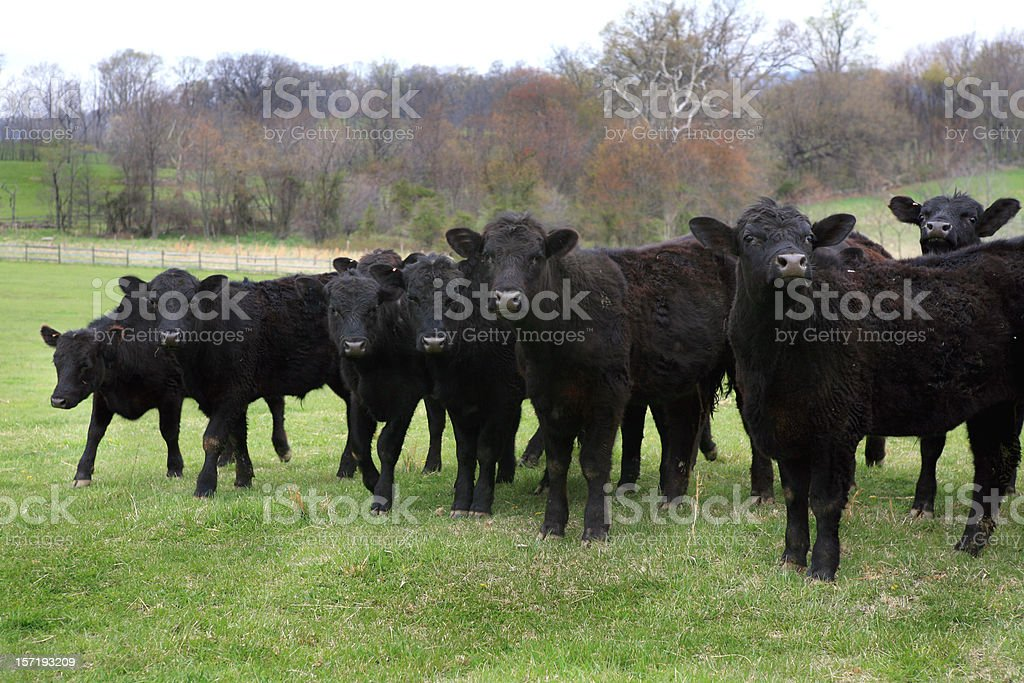Black Angus Cows Domestic Cattle herd in Field stock photo