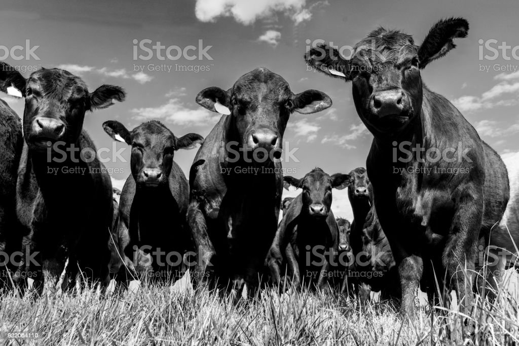 Black Angus herd - low angle BW stock photo