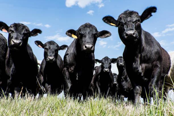 Black Angus herd - low angle stock photo