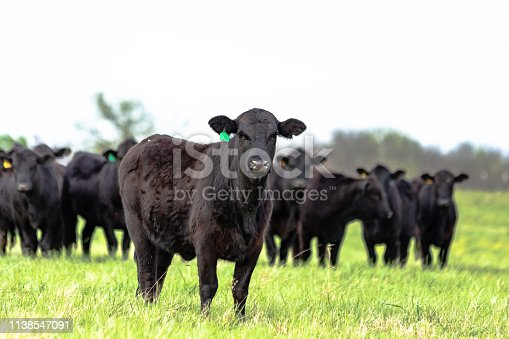 Black Angus heifer standing in the foreground with the rest of the herd standing behind her out of focus with blank area for copy above.