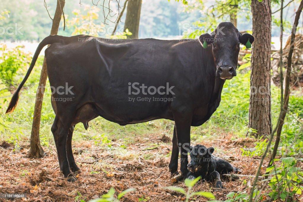 Black Angus Newborn Calf and Cow