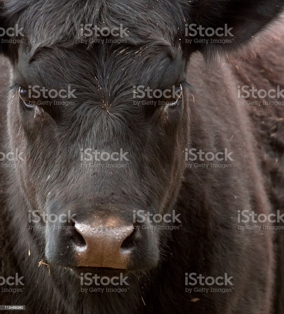 Black Angus stock photo