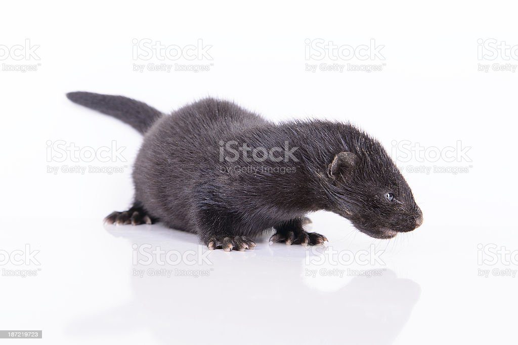 black animal mink royalty-free stock photo