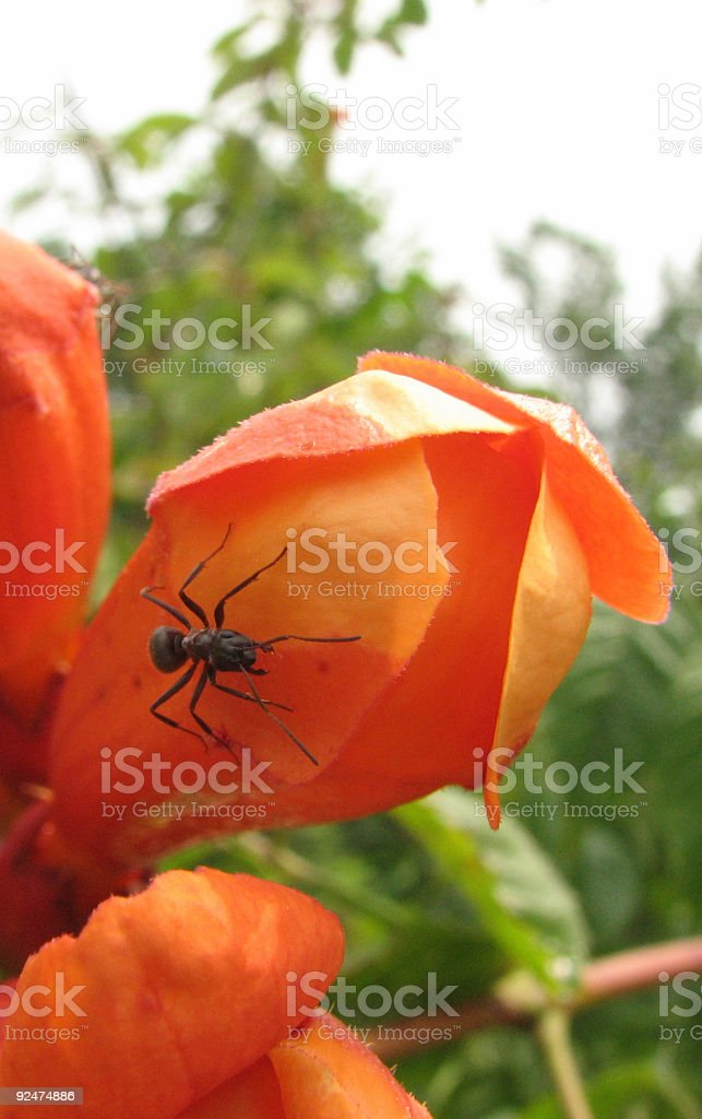 black ant and red flower royalty-free stock photo