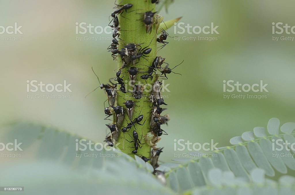Black Ant & Centrotus Cornutus (hemiptera) stock photo