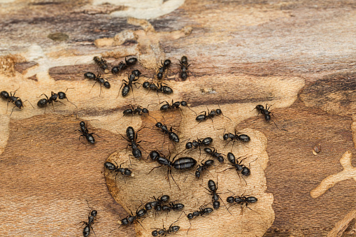 istock Black ant colony with queen 474530350