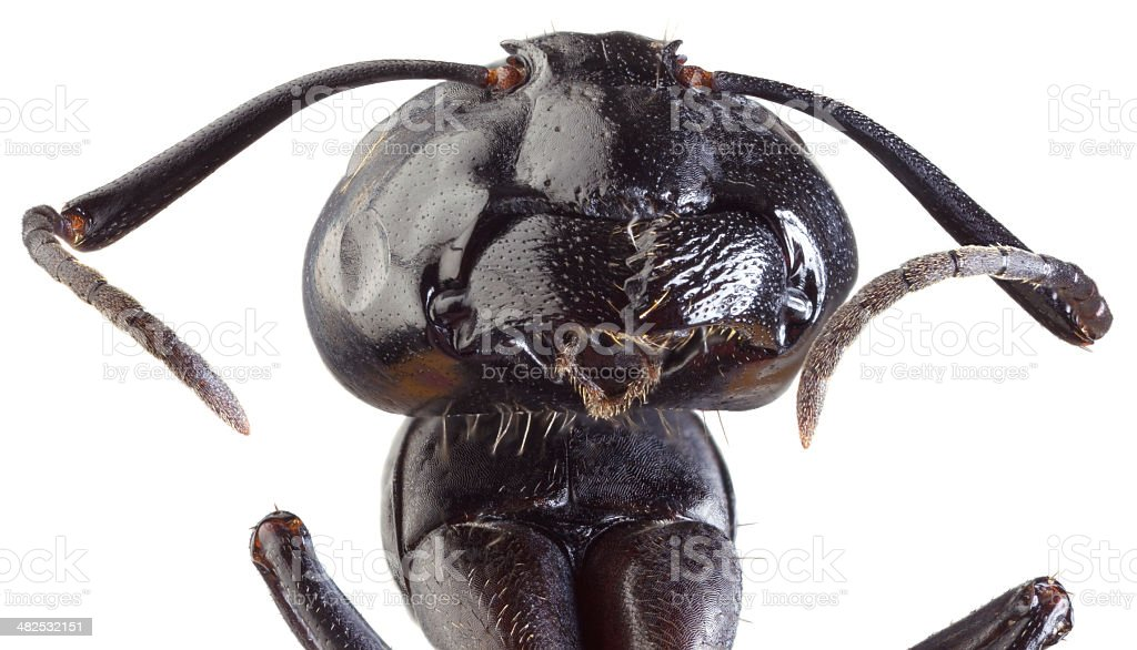 Black Ant Cutout stock photo