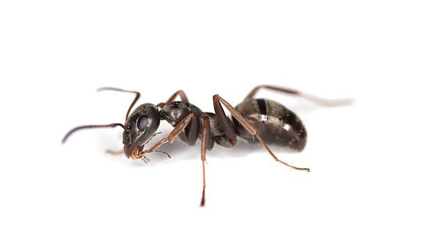 Black ant isolated on white background. stock photo