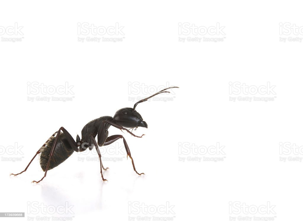 Black Ant - Macro stock photo