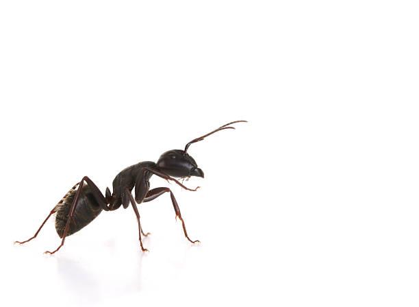 Black Ant-Makro – Foto