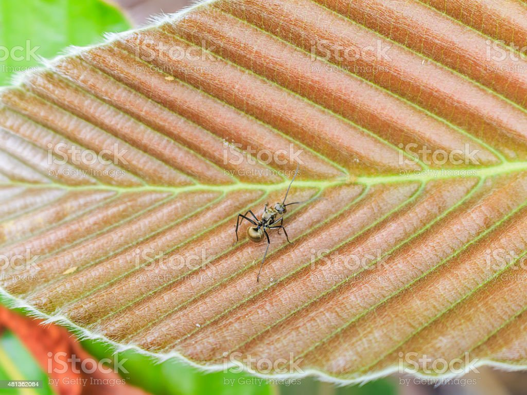 black ant on DIPTEROCARPACEAE leaf stock photo