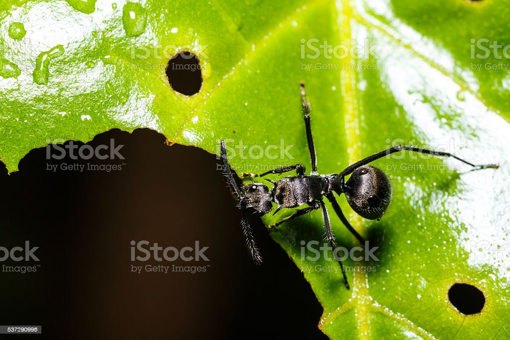 Black ant on leaf stock photo