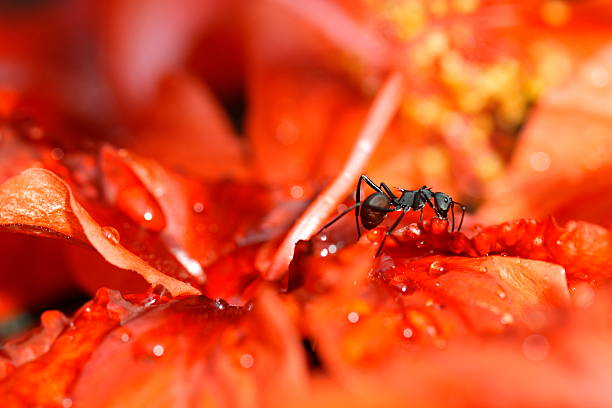 Black ant on red flowers stock photo