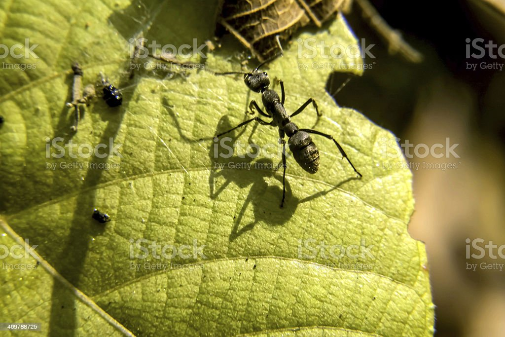 Black Ant stock photo