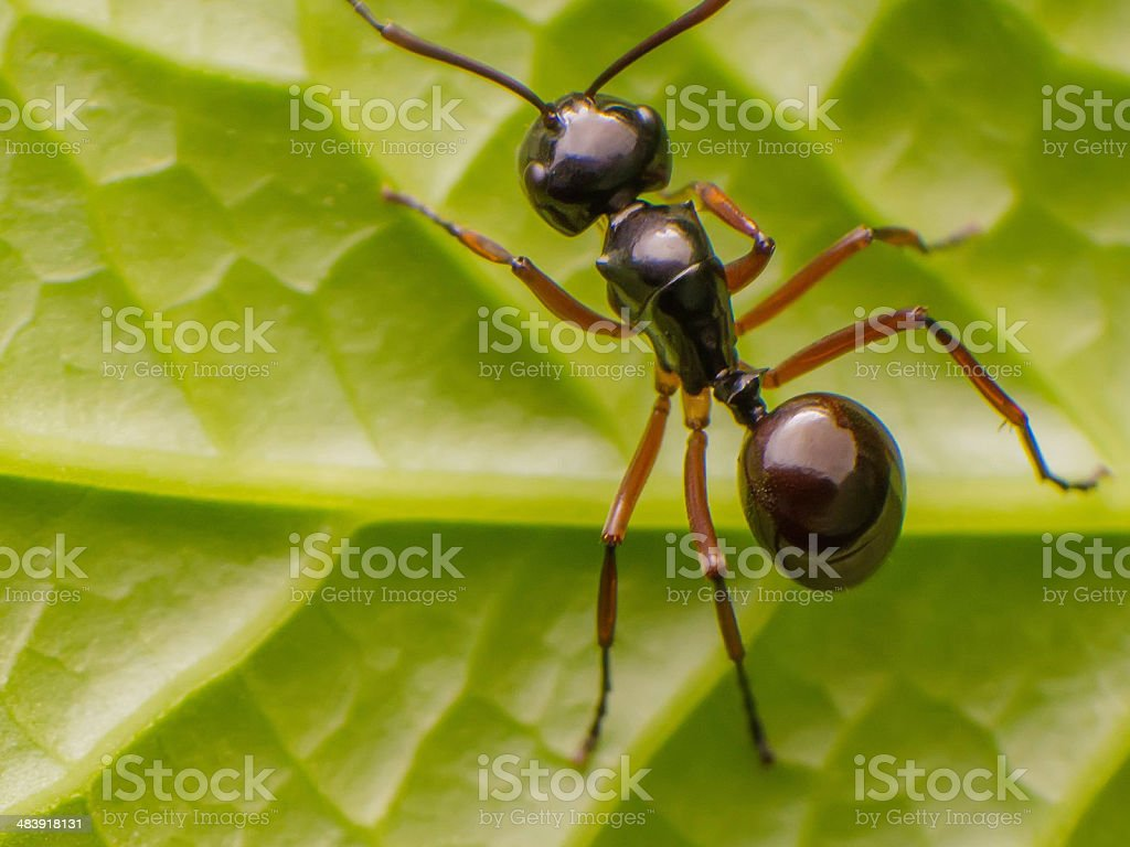 Black Ant. stock photo