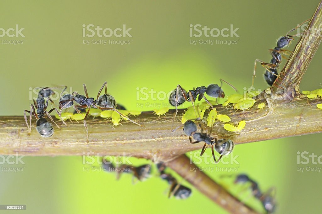 black ants are taking care aphids stock photo