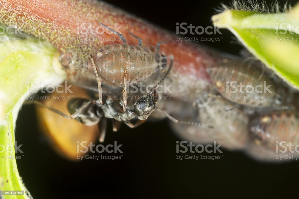Black ants (Lasius niger) harvesting on aphids, extreme close up royalty-free stock photo