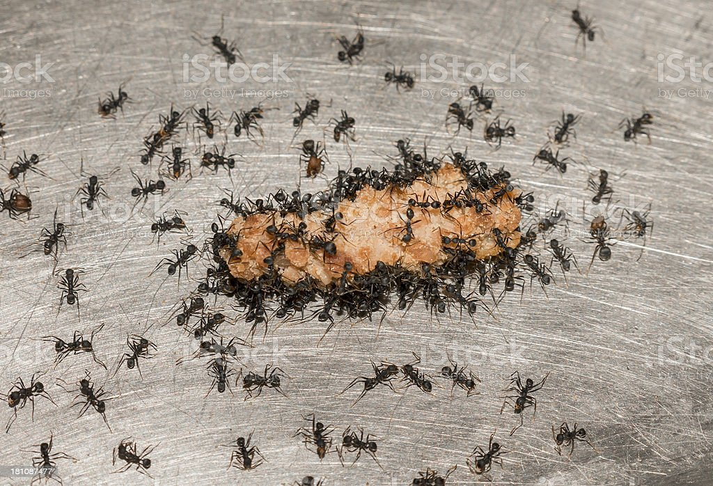 Black Ants On Meat stock photo