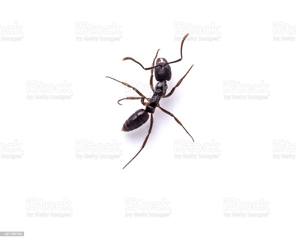 Black ants on White background stock photo