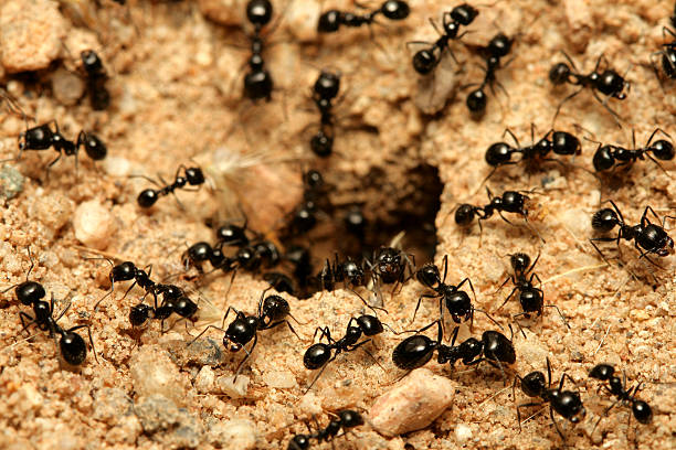 Black ants A macro shot of black ants working together. ant stock pictures, royalty-free photos & images