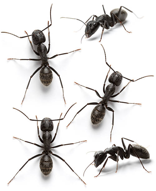 black ants Ants C.vagus ant stock pictures, royalty-free photos & images