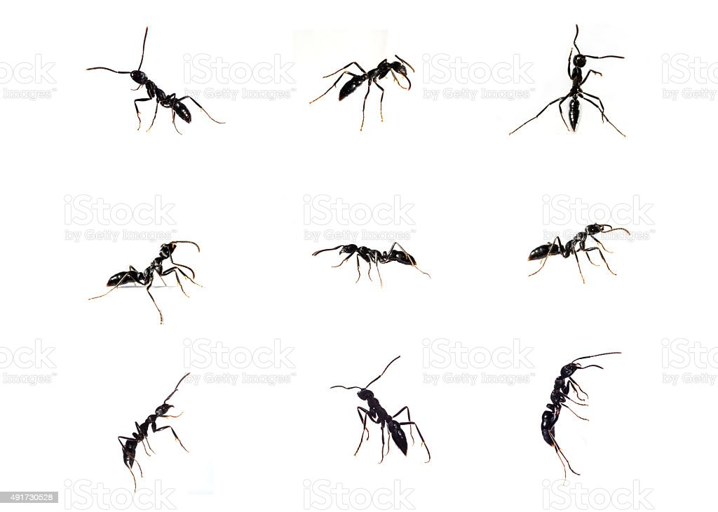 Black ants stock photo
